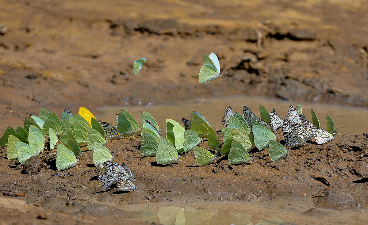 Butterflies look for moisture in the mud in Kgalagadi Transfrontier Park, South Africa © Vittorio Ricci