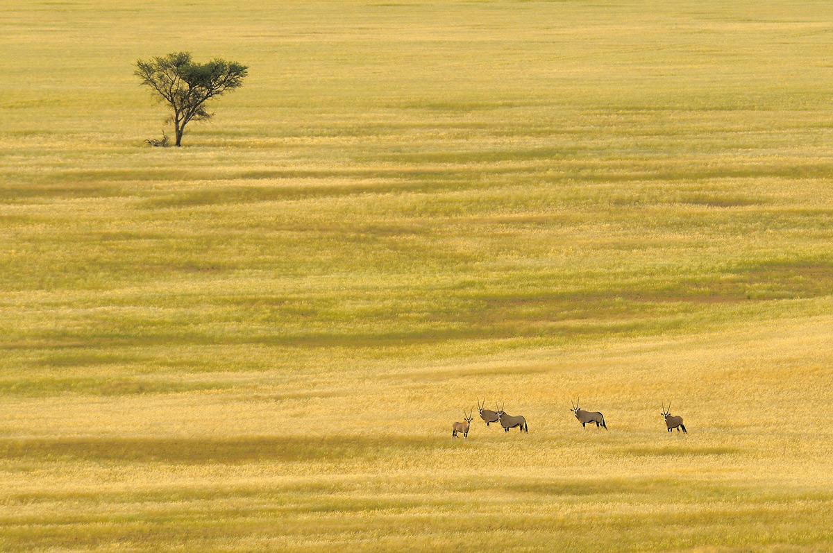 Gemsbok in a vast, open savannah in Namib-Naukluft National Park, Namibia © Vittorio Ricci