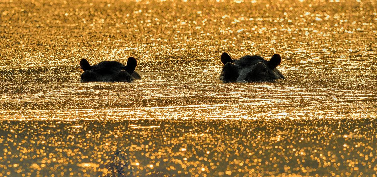 Hippos spotted at sunrise in Mana Pools National Park, Zimbabwe © Vittorio Ricci