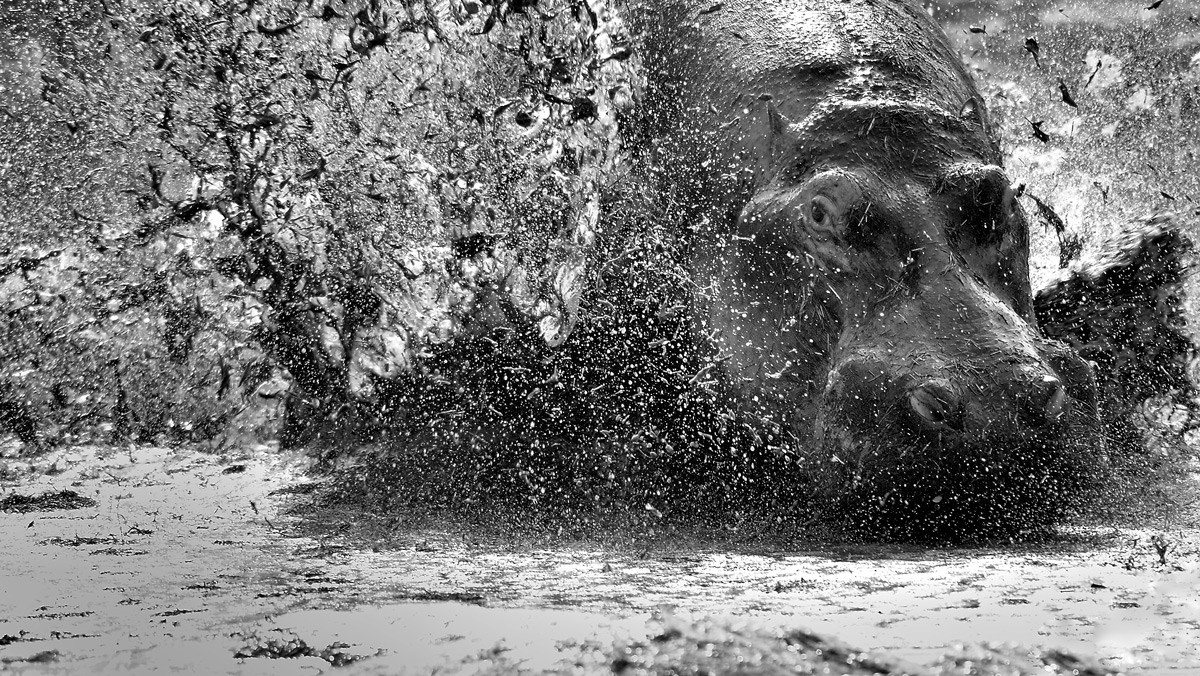 A hippo escapes a territorial dispute in Serengeti National Park, Tanzania © Vittorio Ricci