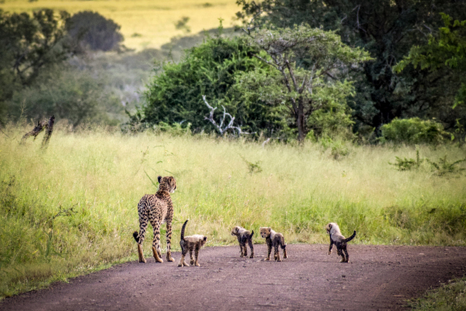 Cheetah with four cubs