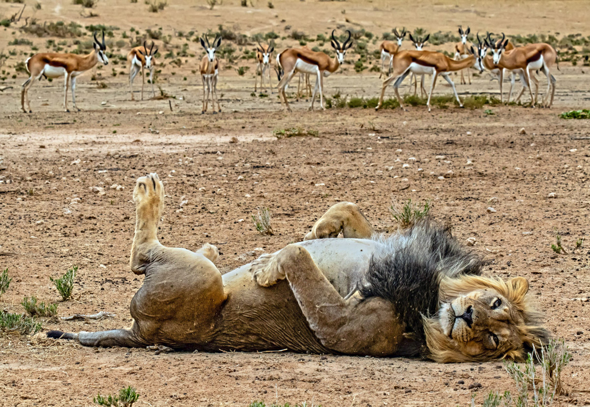 """""""This lazy boy was clearly not in the mood for 'fast' food, he probably had springbok for breakfast"""" – Kgalagadi Transfrontier Park, South Africa © Wilmari Porter"""