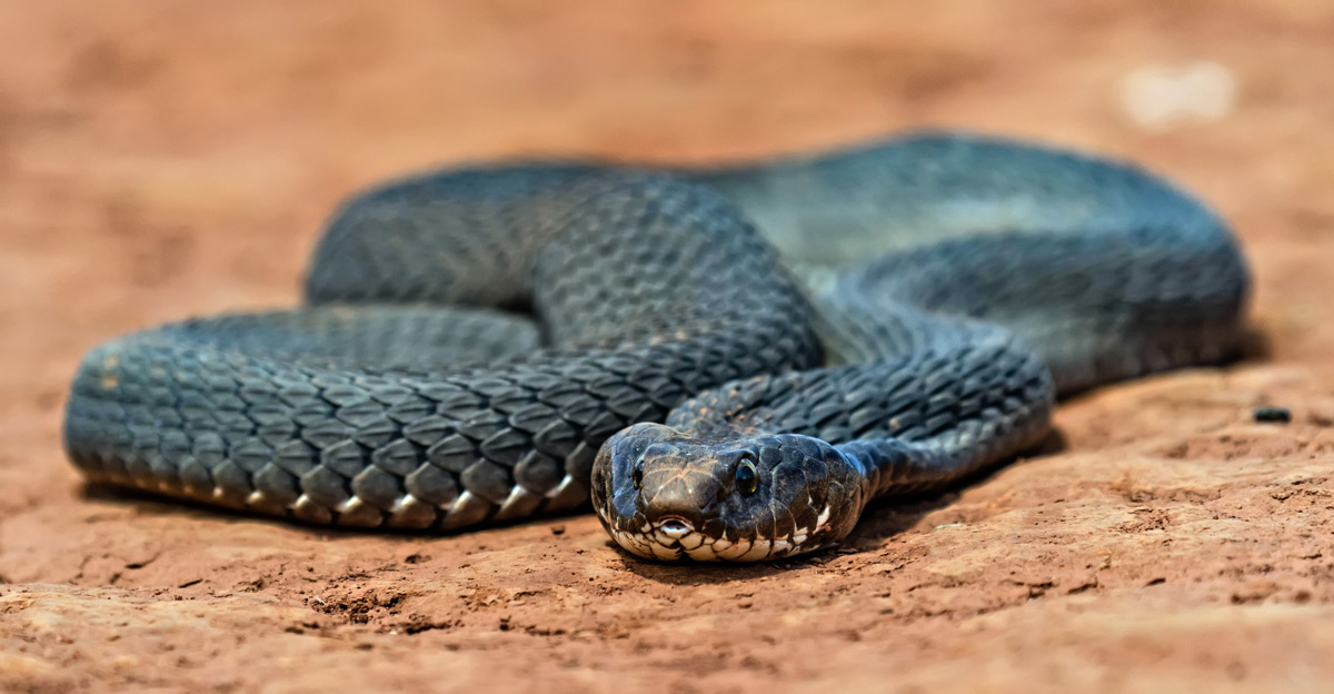 The deadly smile of a rinkhals (ring-necked spitting cobra) at eye level in Walter Sisulu Botanical Gardens, South Africa © Wilmari Porter