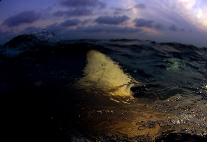 Blacktip shark fin at sunset on Aliwal Shoal, South Africa © Bryan Hart