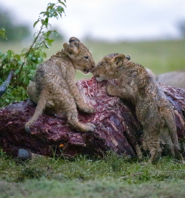 Lion cubs snacking on kudu carcass