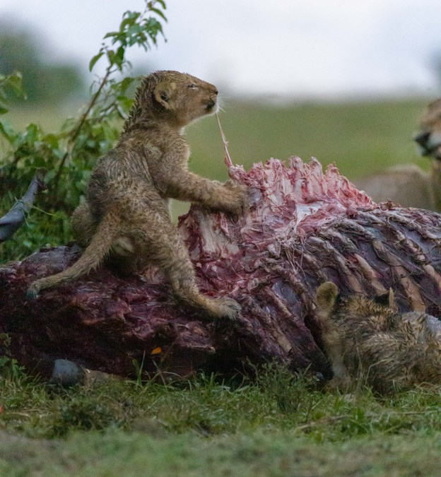 Lion cub snacking on kudu carcass