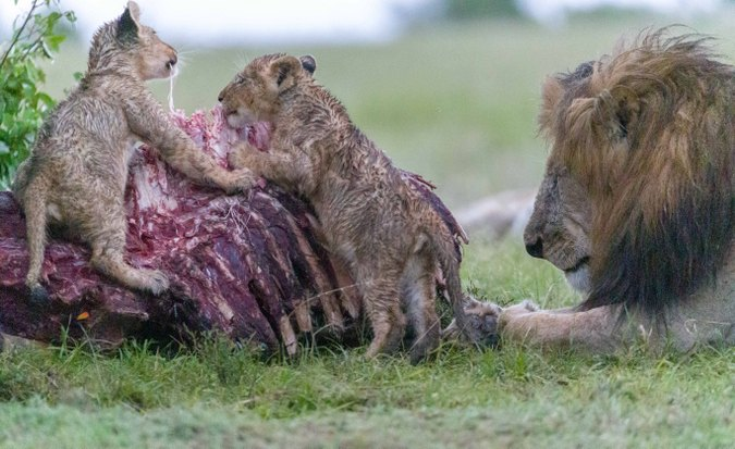 Lion cubs snacking on kudu carcass with dominant male close by