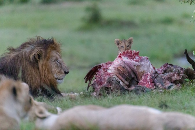 Lion cubs and male lion at kudu carcass