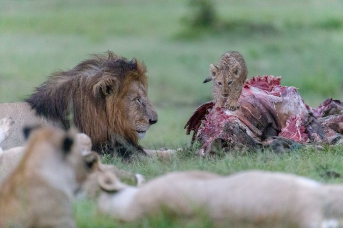 Lion cub walking on kudu carcass
