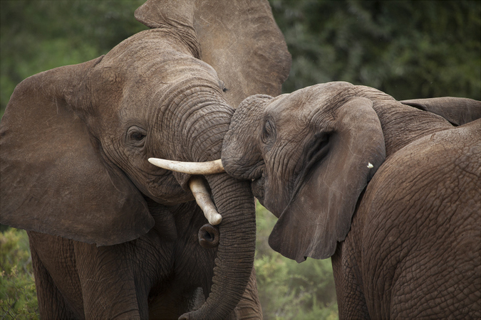 Two elephants tussling