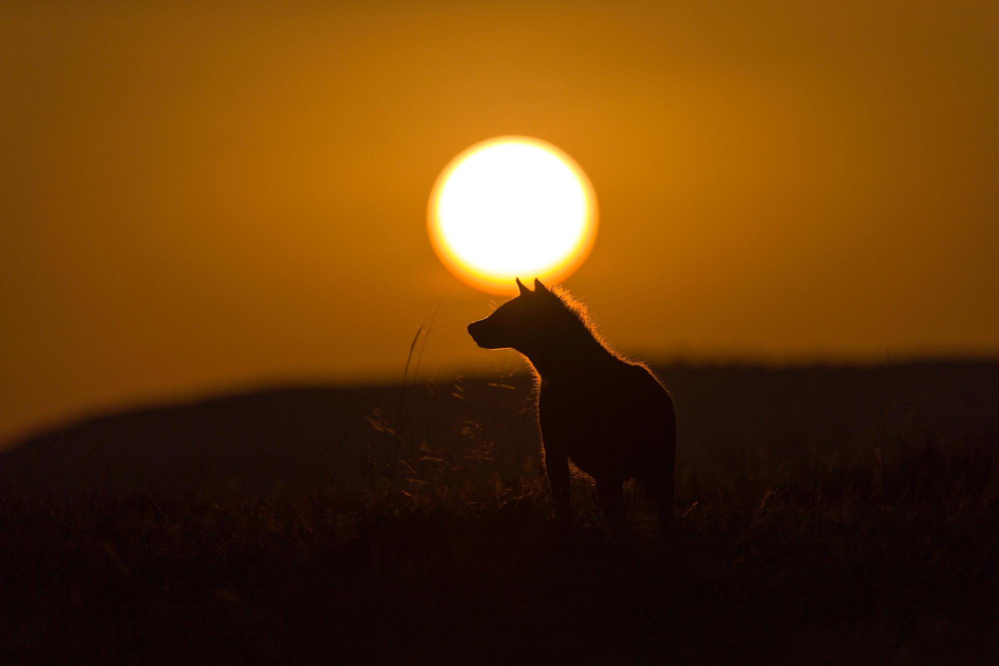 A spotted hyena at sunrise © Ruzdi Ekenheim