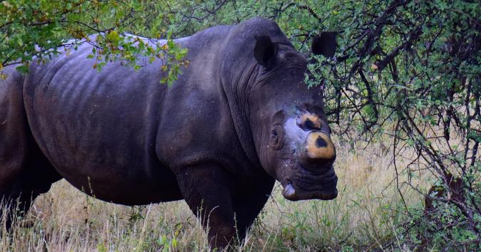 A dehorned white rhino