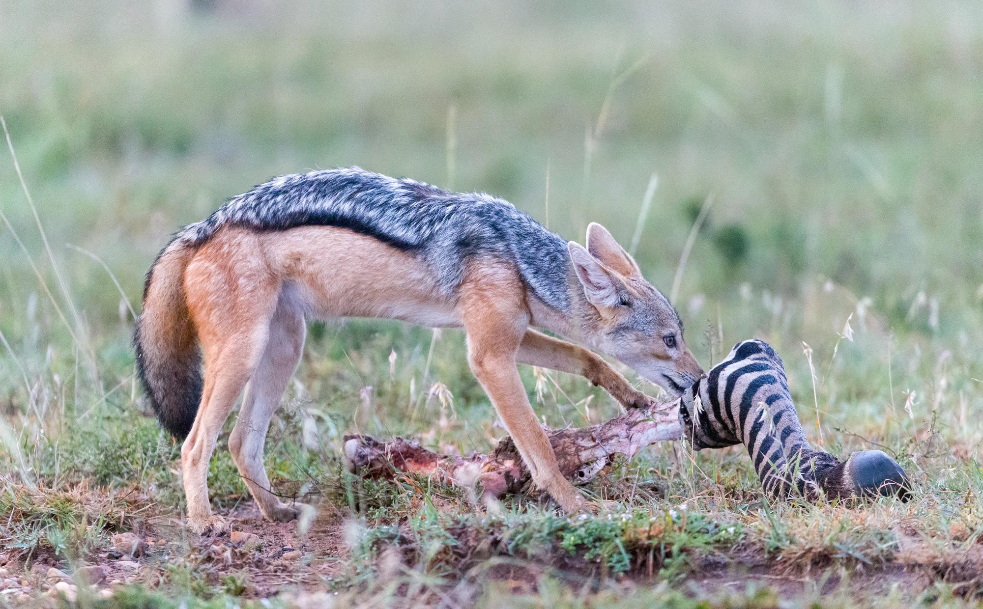 A black-backed jackal with the leg of a zebra ©Ruzdi Ekenheim