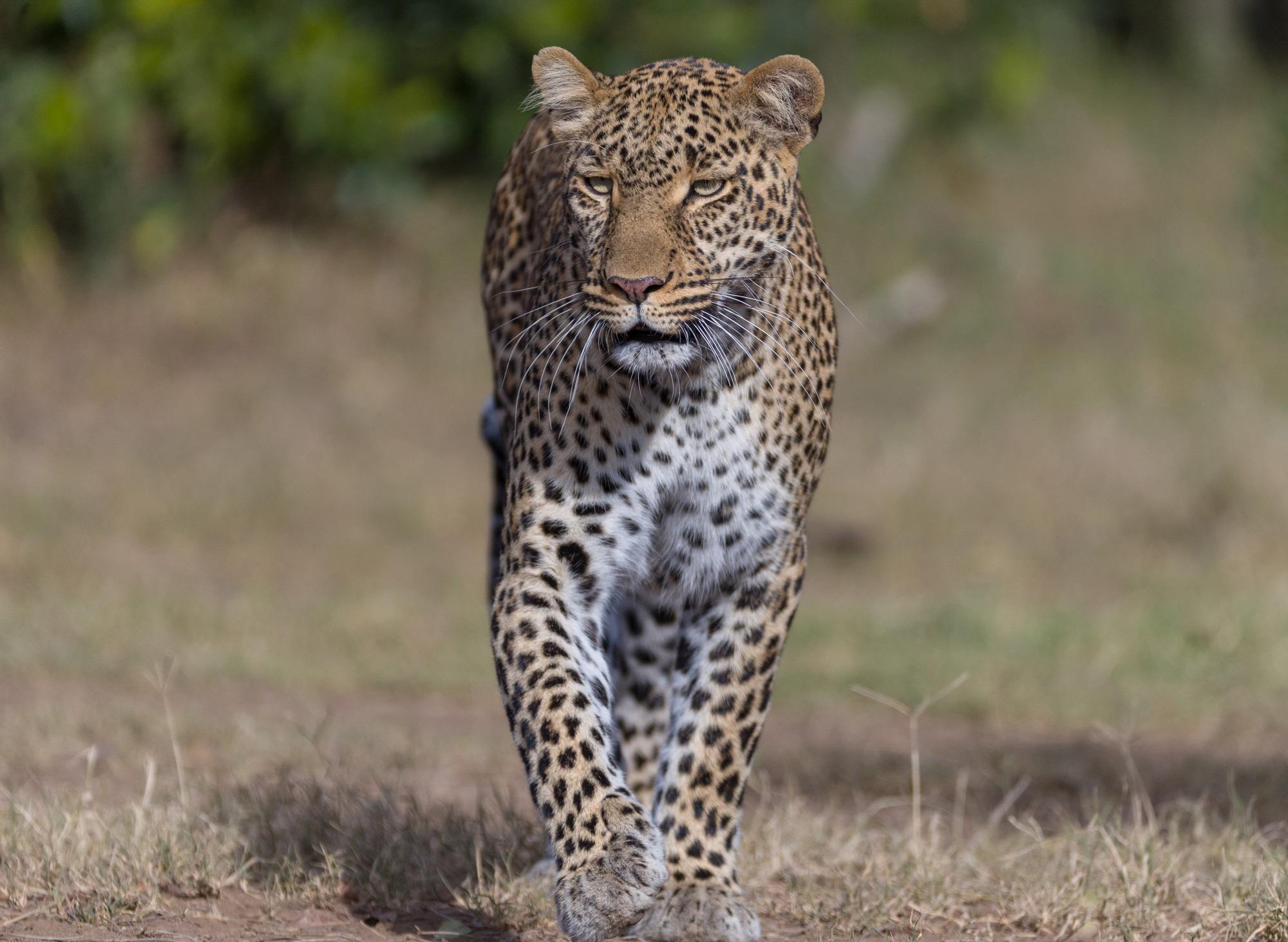 A male leopard strolls by in Maasai Mara ©Ruzdi Ekenheim