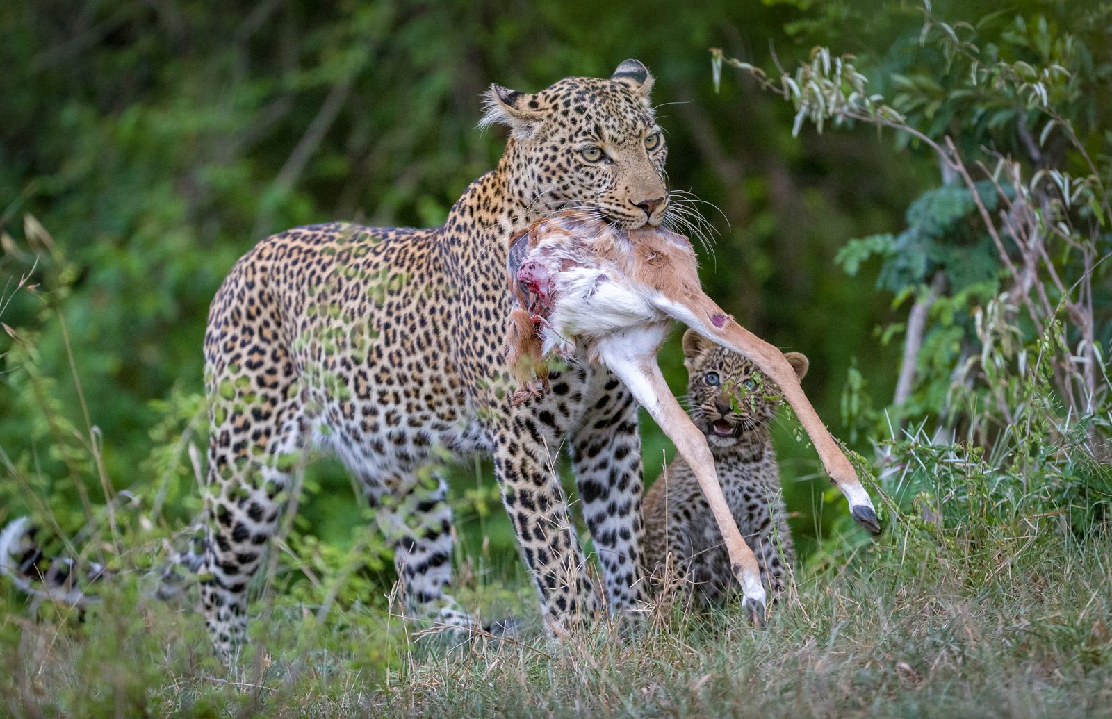 Fig, the leopardess, carries the remains of a kill as her cub enthusiastically follows close by © Ruzdi Ekenheim