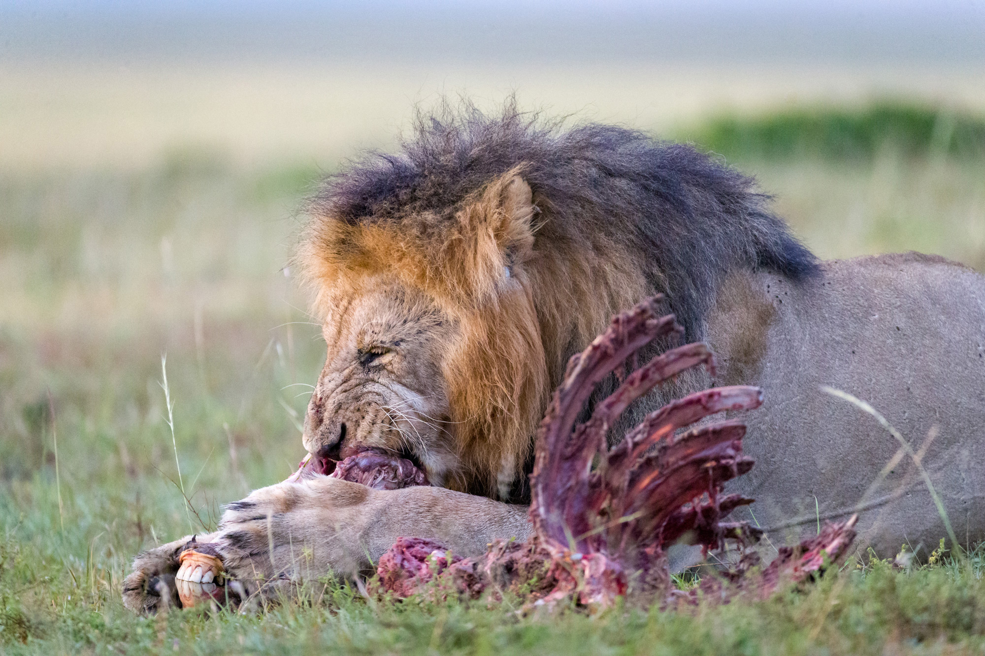 A lion feasts on the remains of a zebra ©Ruzdi Ekenheim
