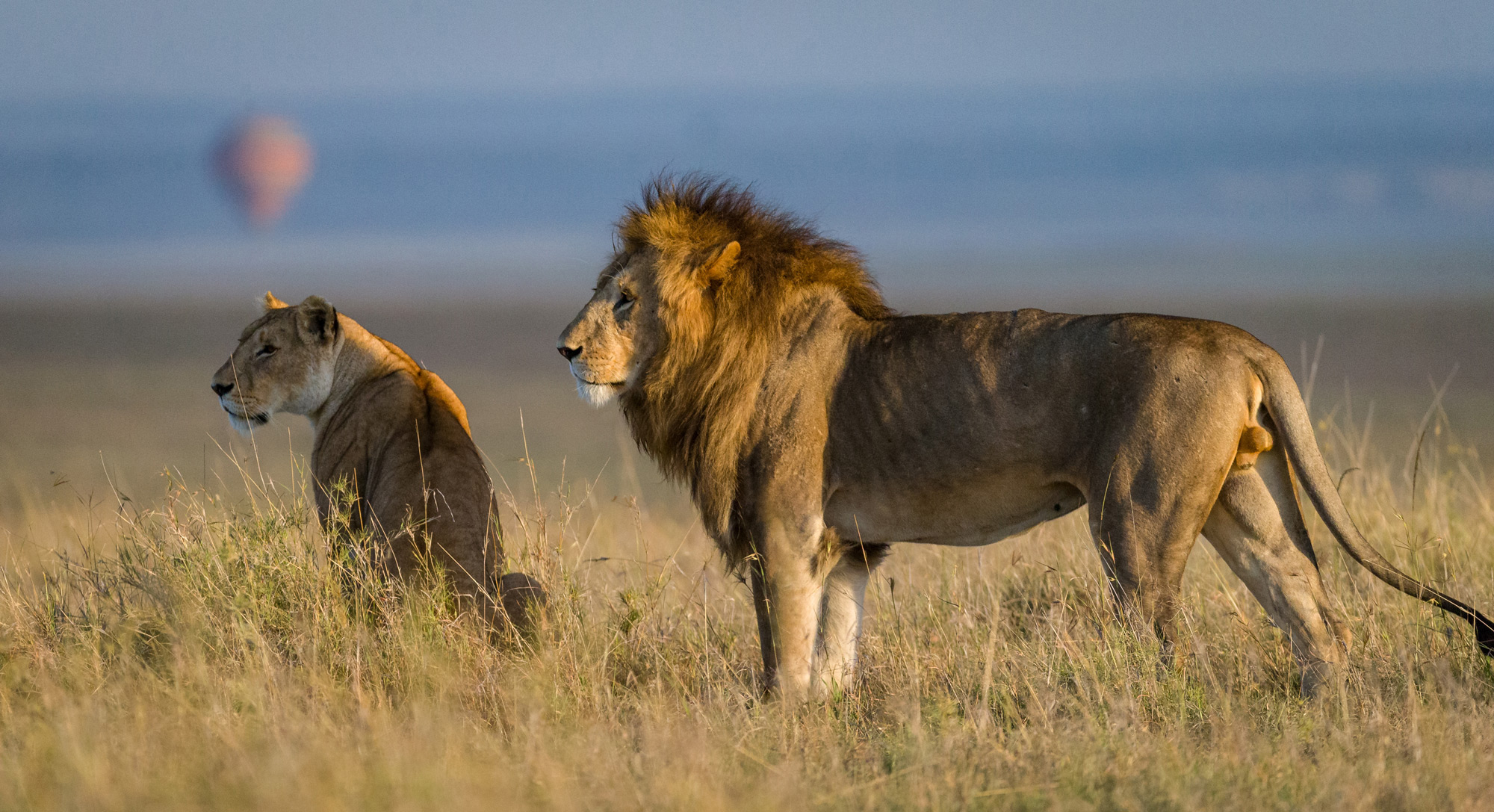 A lion and lioness scan the horizon as a hot air balloon takes off in the distance in the Maasai Mara ©Ruzdi Ekenheim