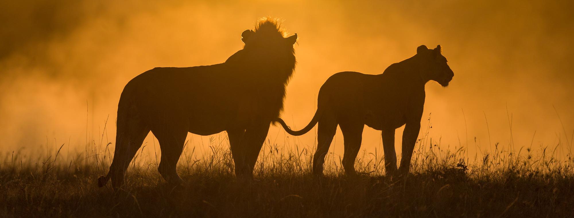 Lions in the mist at sunrise ©Ruzdi Ekenheim