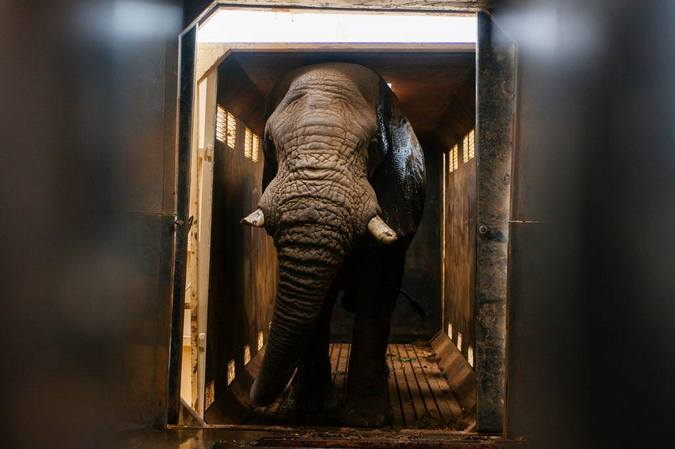 Riff Raff the elephant bull in a recovery crate during relocation