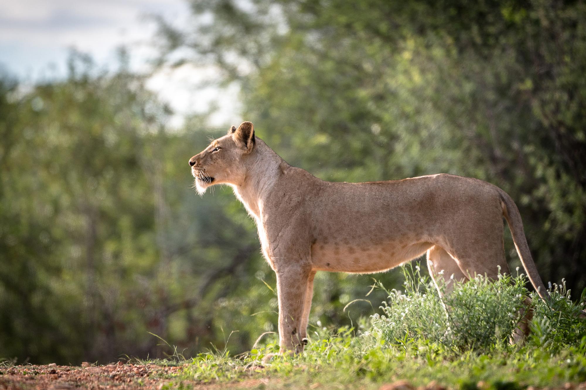 A Balule lioness intent on her prey © Em Gatland