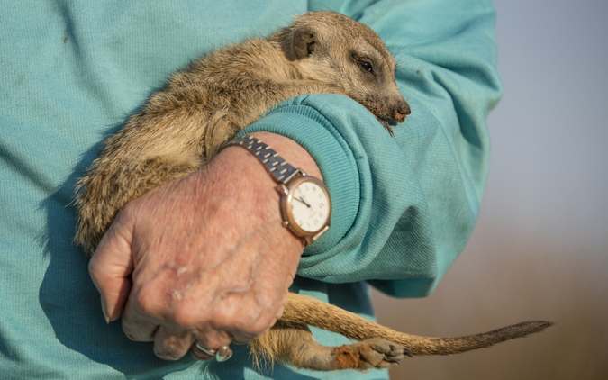 Meerkat in someone's arms