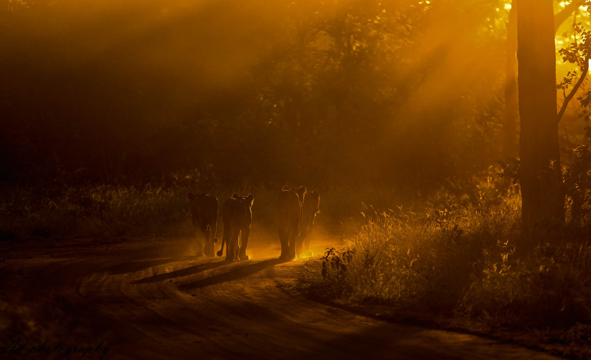 A mother lion and her cubs walk into the sunset in Maseke Balule Game Reserve, South Africa © Adrian van Zyl