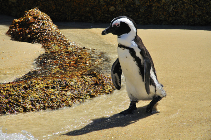 Adult African penguin on the beach returning from a foraging trip
