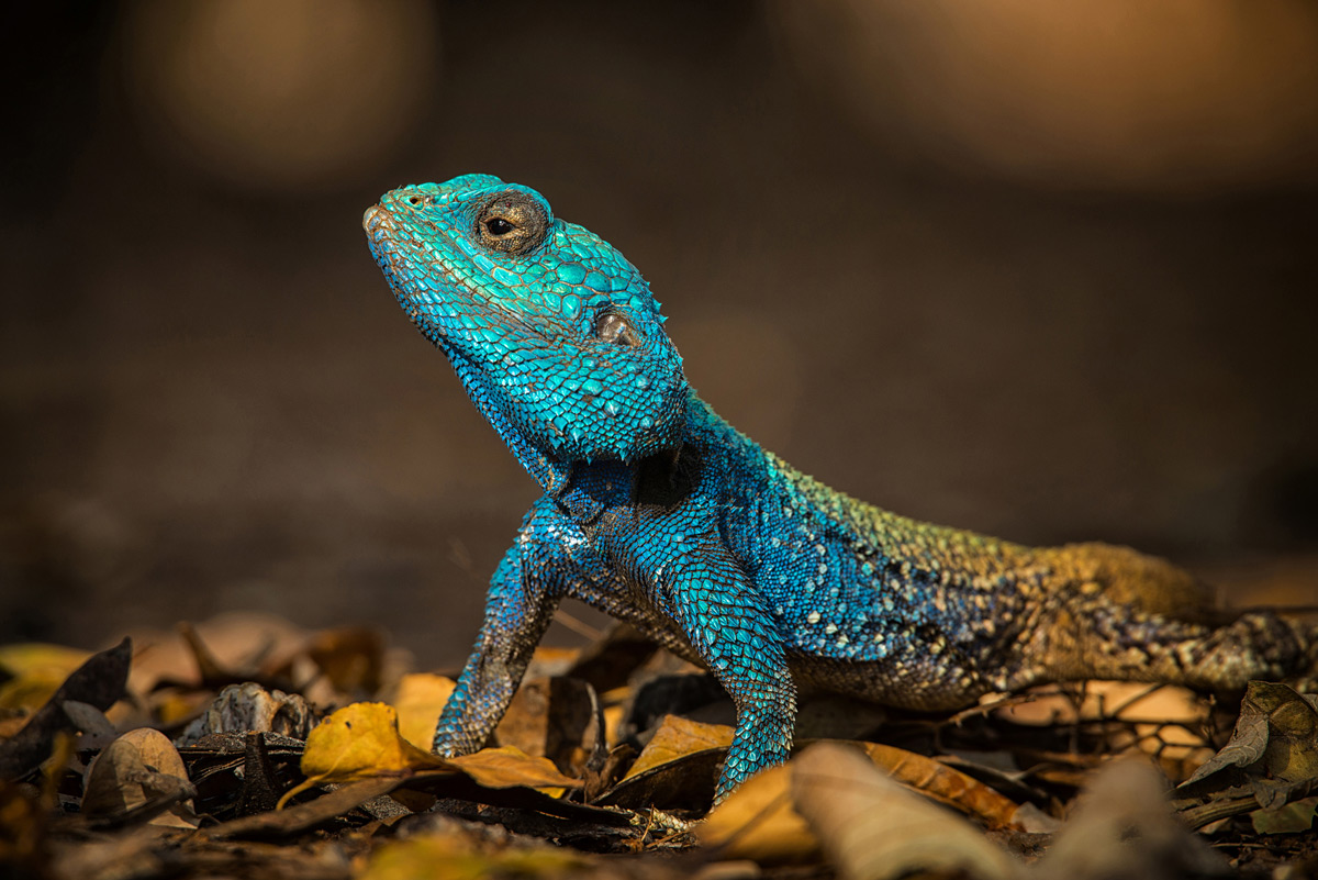 A colourful blue-headed agama takes a minute to pose in Kruger National Park, South Africa © Alice van Kempen