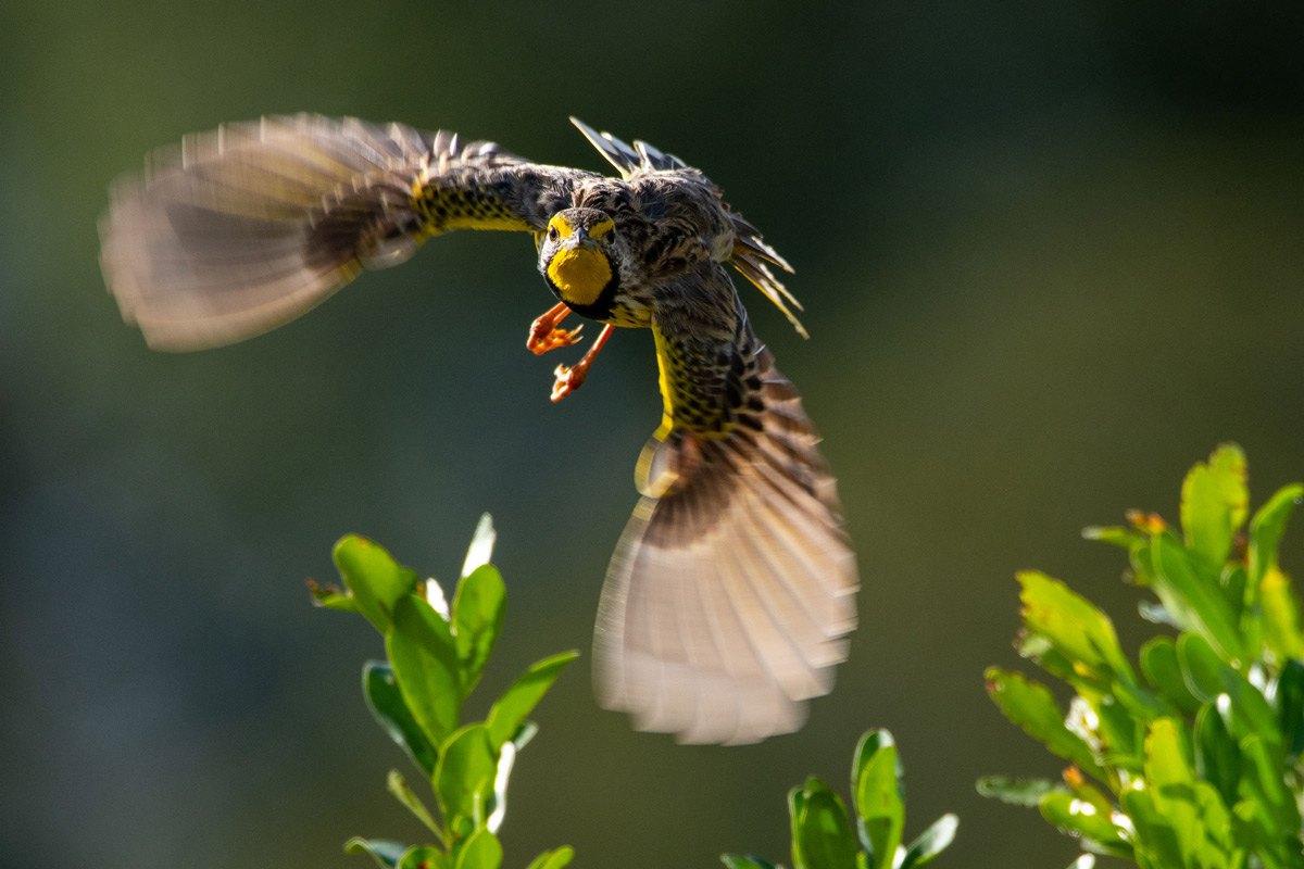 A yellow-throated longclaw takes flight in Maasai Mara National Reserve, Kenya © Andrew Morgan