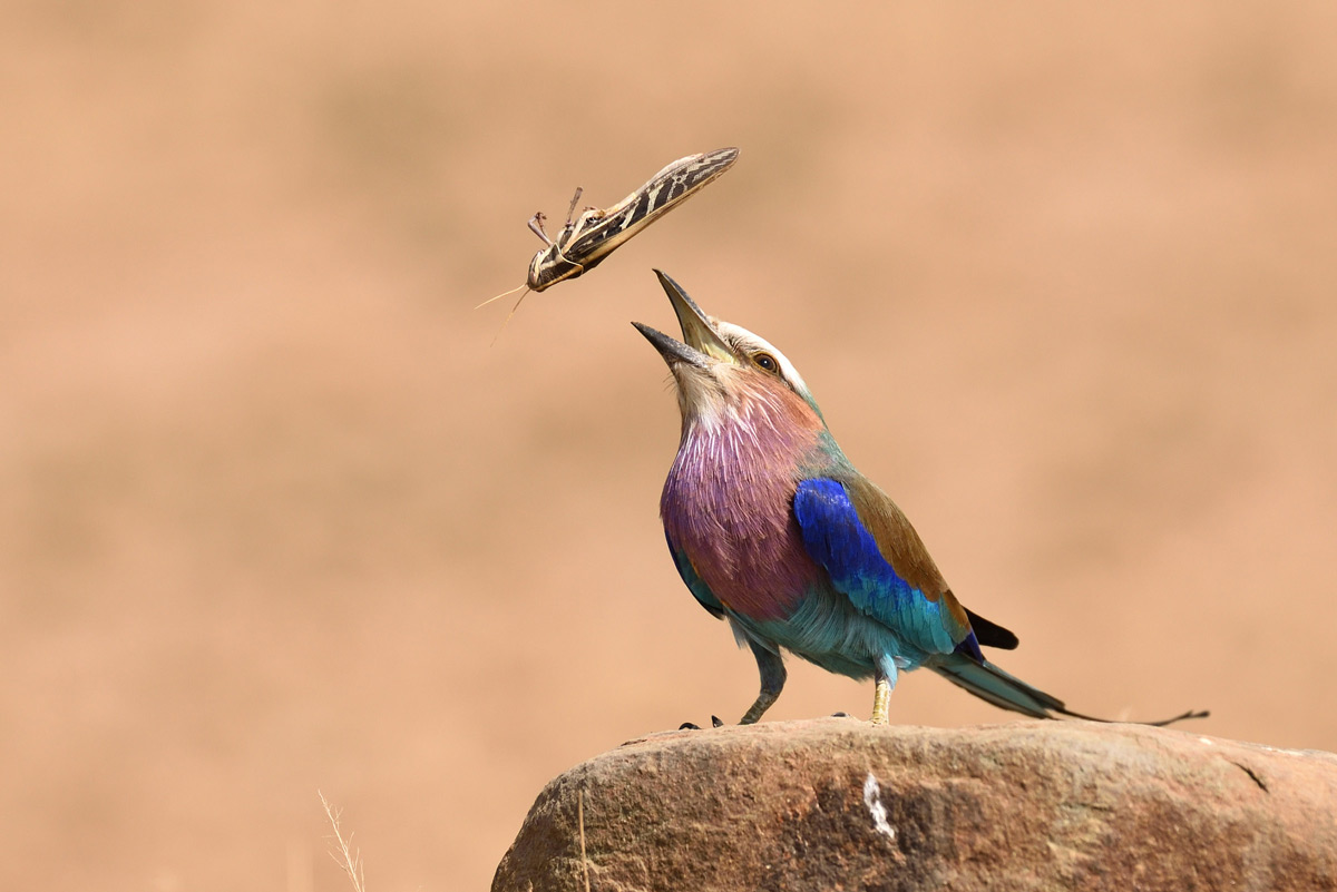 A lilac-breasted roller throws his lunch up into the air in Serengeti National Park, Tanzania © Andrew Morgan