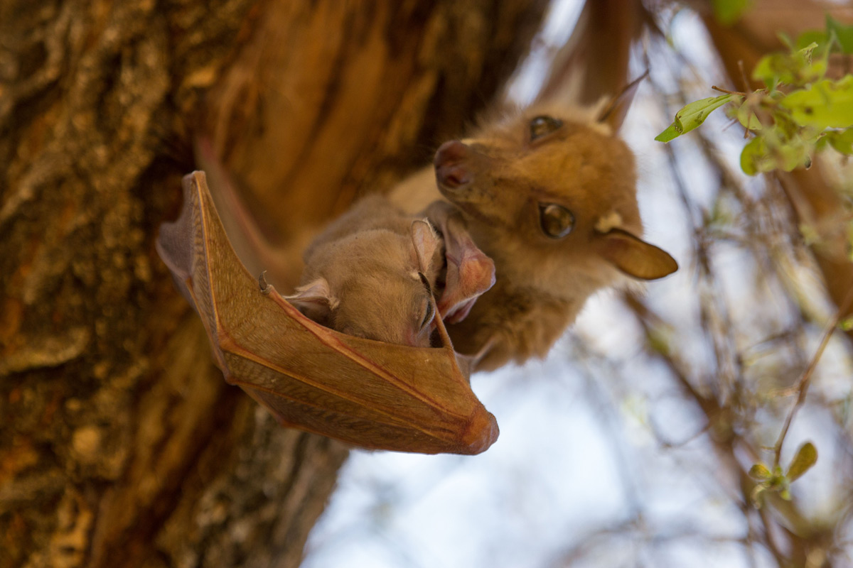 On a hot day an epauletted fruit bat mother lets her young catch a breeze in her open wing to help cool it down, Balule Private Nature Reserve, South Africa © Anna-Carina Nagel