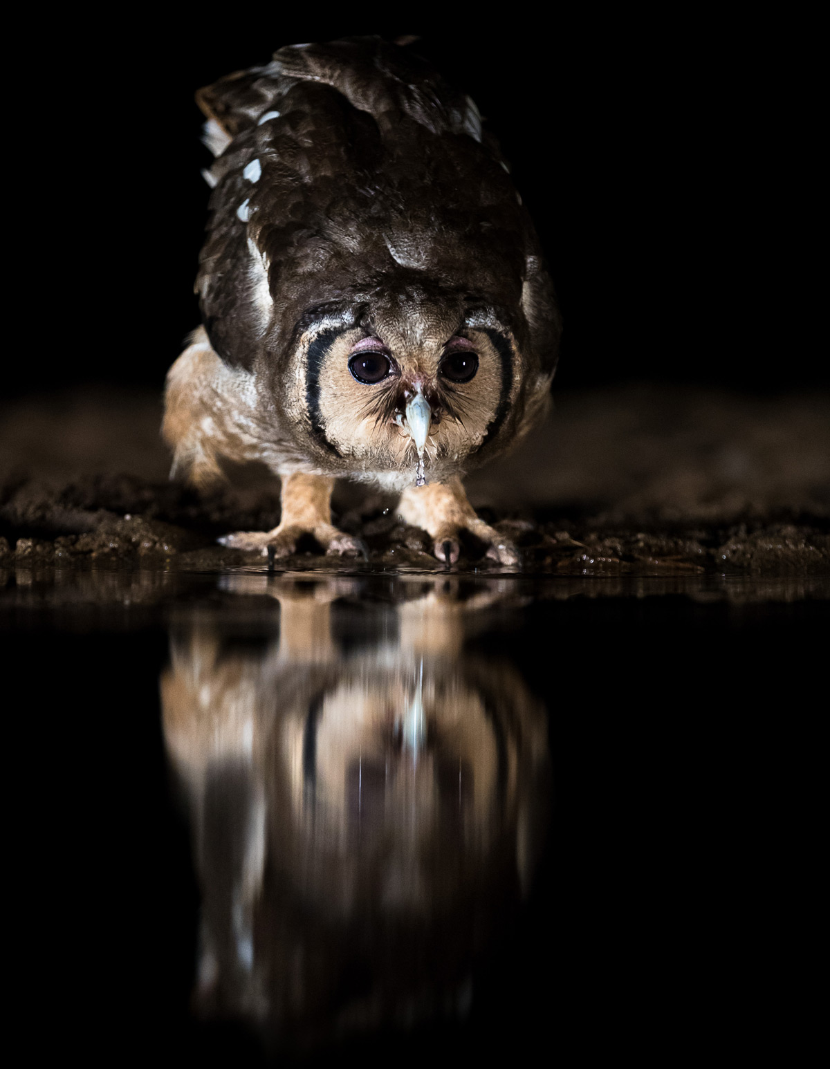 A Verreaux's eagle-owl (also known as a giant eagle owl) drinks from a waterhole at Zimanga Private Game Reserve, South Africa © Annemarie du Plessis