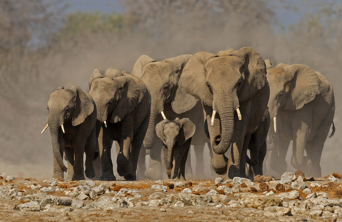 An elephant herd approaches a waterhole in Etosha National Park, Namibia © Annette Ligthelm