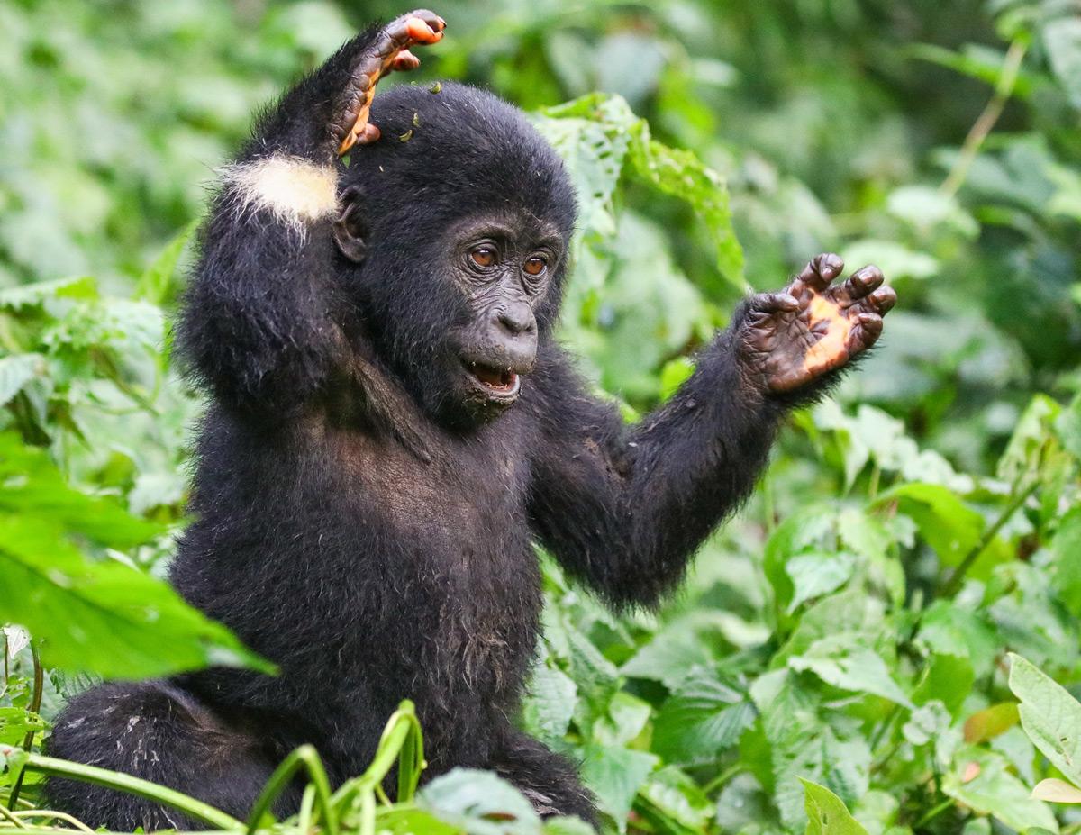 A young mountain gorilla plays in Bwindi Impenetrable National Park, Uganda © Avi Dvilansky