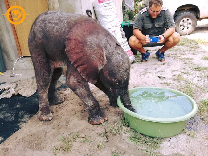 Three-month-old elephant calf drinking, rescued in Maputo Special Reserve, Mozambique