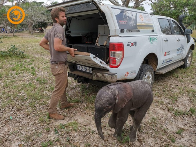 Three-month-old elephant calf, rescued in Maputo Special Reserve, Mozambique