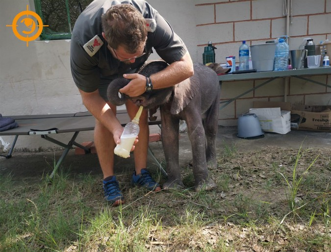 Three-month-old elephant calf being fed, rescued in Maputo Special Reserve, Mozambique