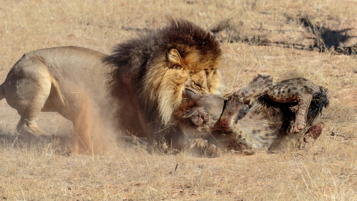 A lion attacks an already injured spotted hyena near a waterhole in Kgalagadi Transfrontier Park, South Africa © Barry du Plessis