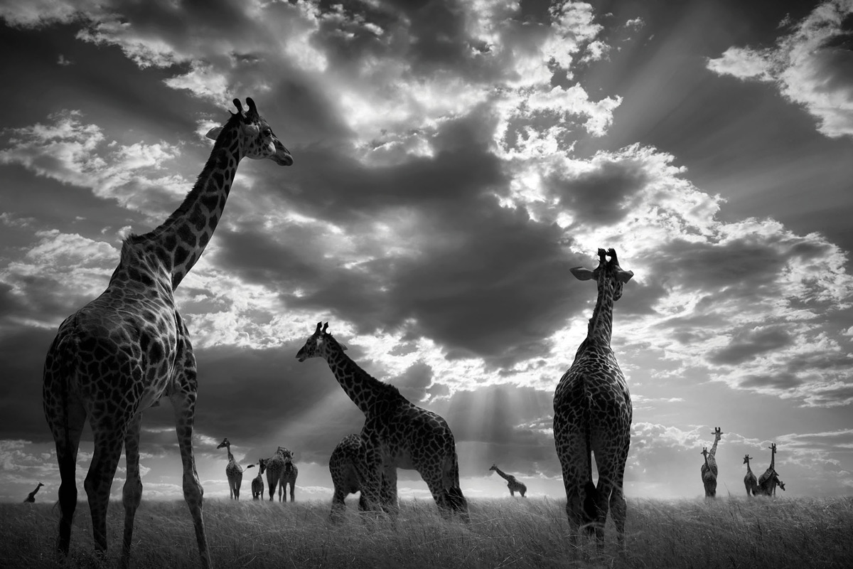 """In the herd – I suddenly found myself surrounded by a large giraffe herd when I was lucky to get this shot."" – Maasai Mara National Reserve, Kenya © Björn Persson"