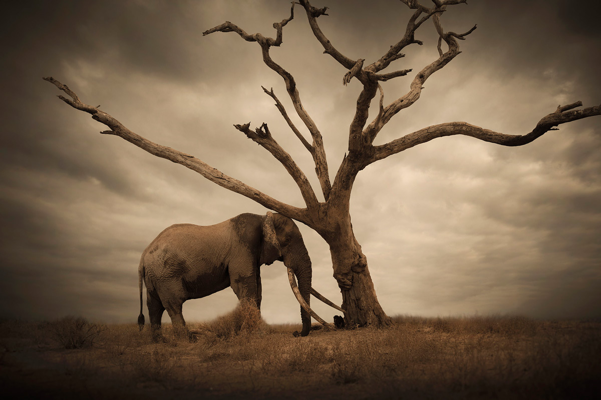"""""""An old tusker rubbing himself against a lonesome tree almost as if in comfort or consolation"""" – Amboseli National Park, Kenya © Björn Persson"""
