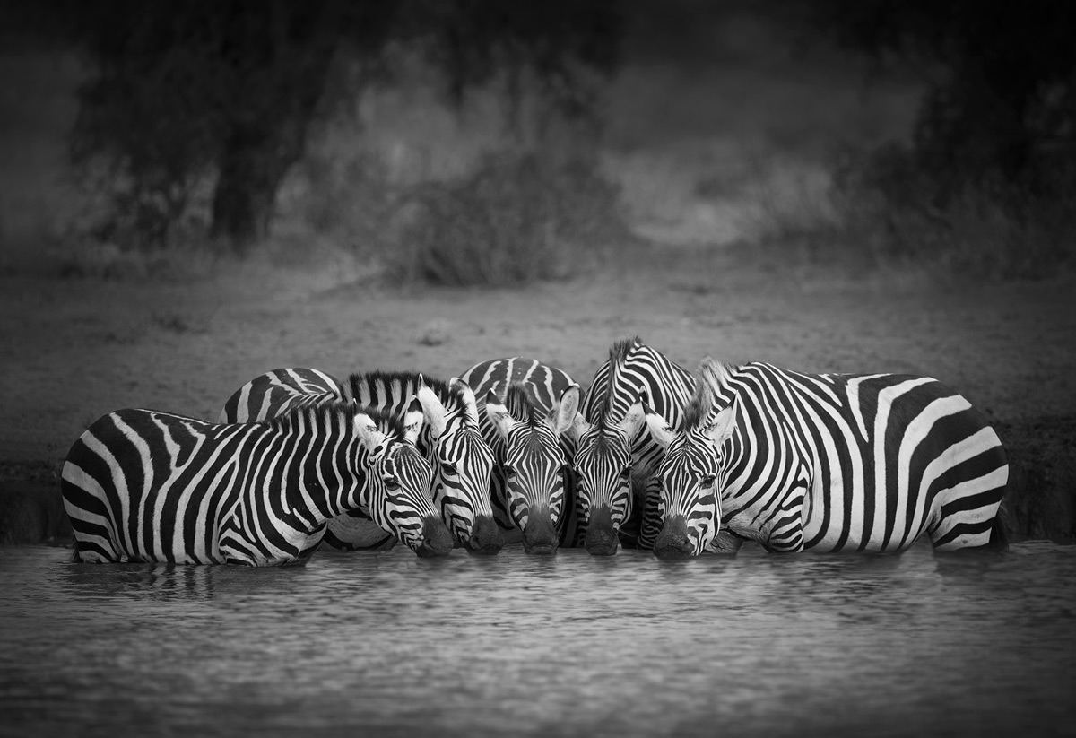 A group of zebras stay close together for protection as they quickly quench their thirst at a waterhole in Amboseli National Park, Kenya © Björn Persson