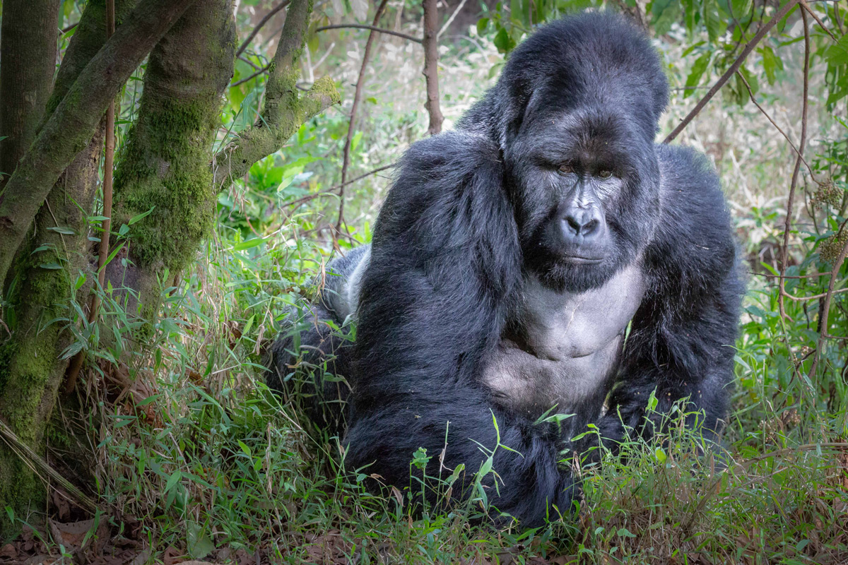 Mark, the magnificent dominant silverback mountain gorilla from the Nyakagezi group in Mgahinga Gorilla National Park, Uganda © Bronwyn Hughes
