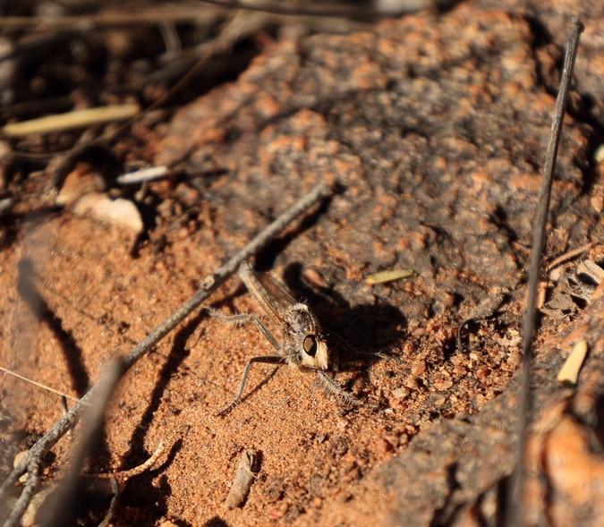 A robber fly in Tswalu Kalahari Reserve