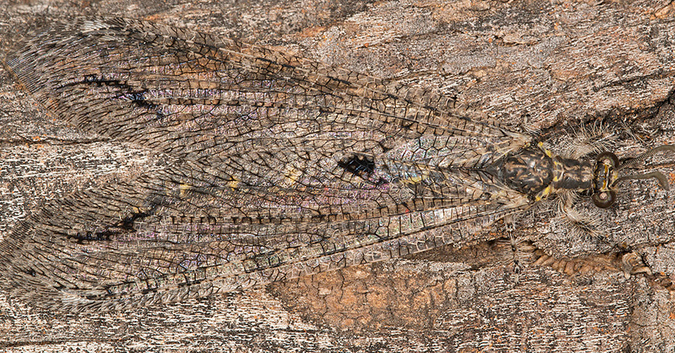 An antlion in Tswalu Kalahari Reserve