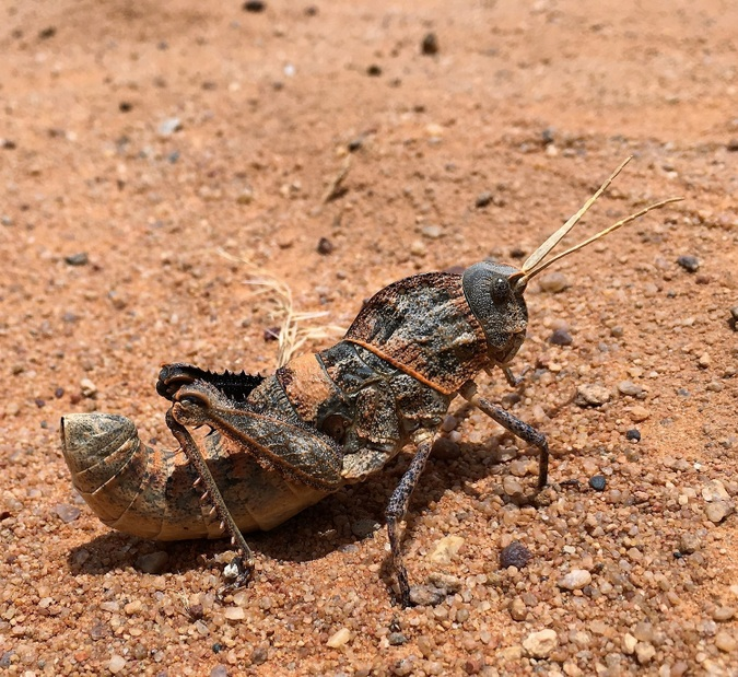 A toadhopper in Tswalu Kalahari Reserve