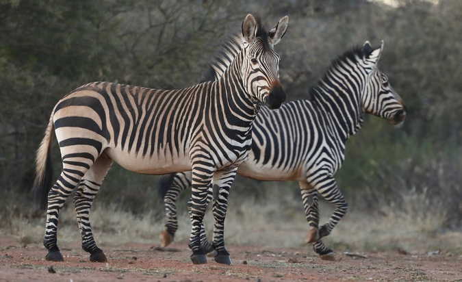 Two zebras in Tswalu Kalahari Reserve