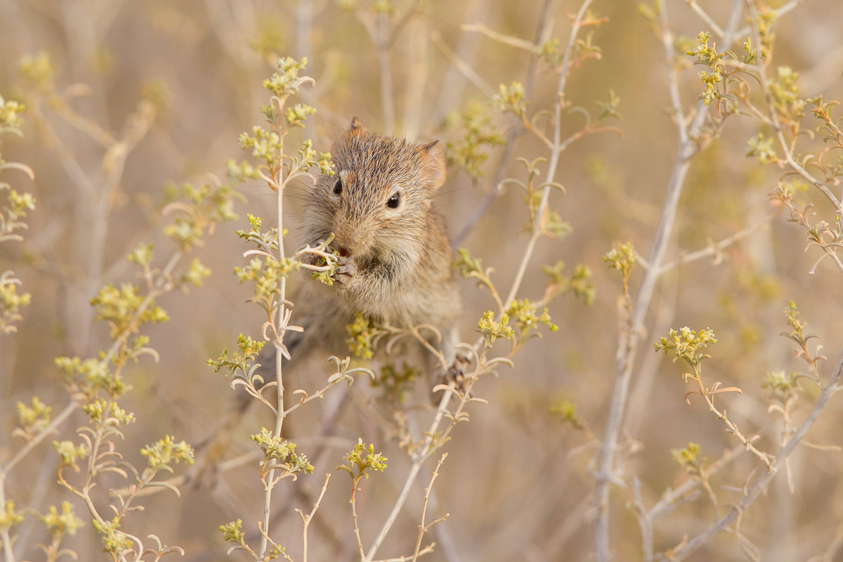 A field mouse spotted in a flower bush in Kgalagadi Transfrontier Park, South Africa © Charlene Bacchioni