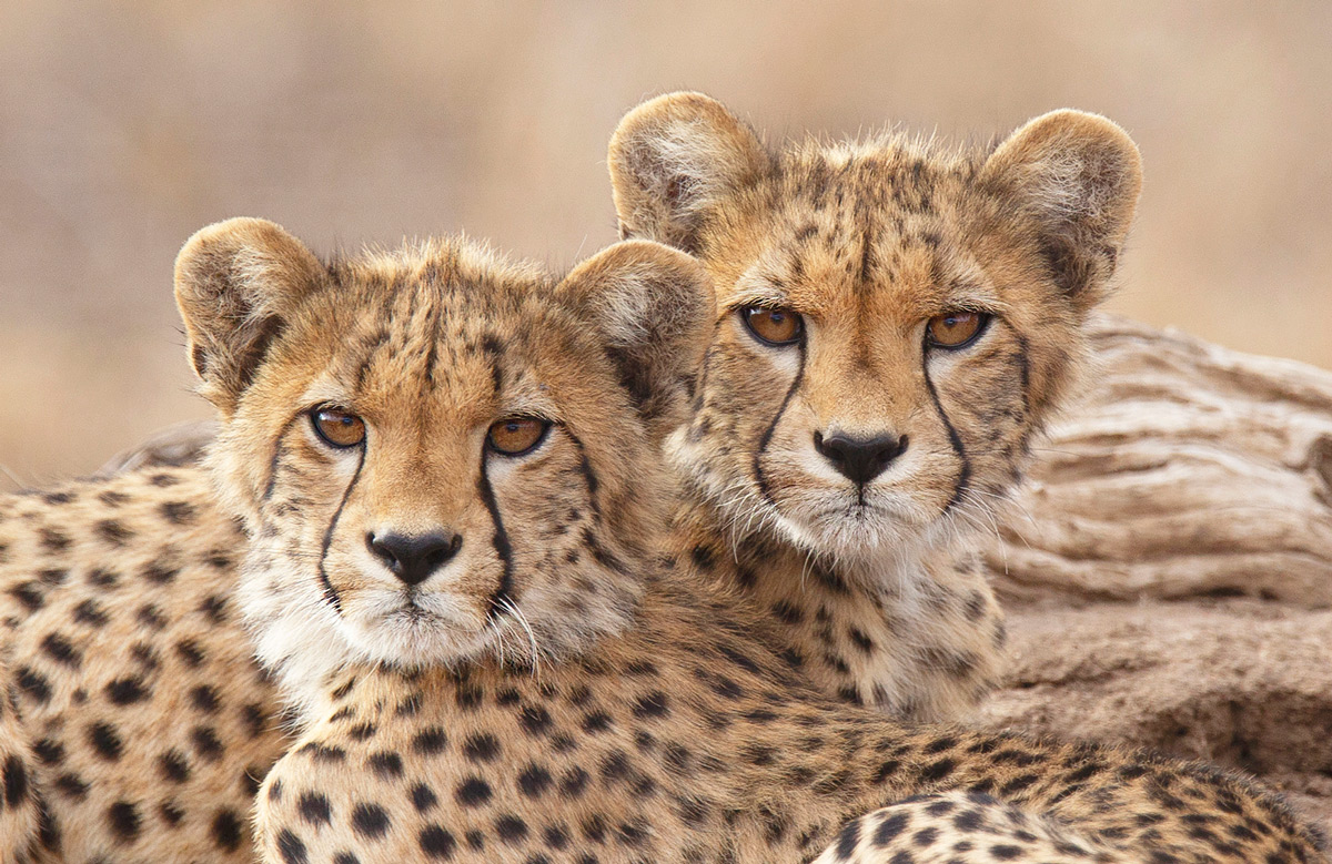 Cheetah cubs spotted in Kruger National Park, South Africa © Chris Kotze