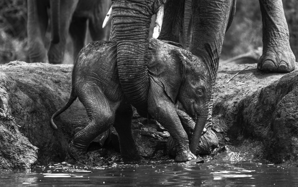 An elephant calf is picked up by its mother after falling into a waterhole in Madikwe Game Reserve, South Africa © Cornel Eksteen