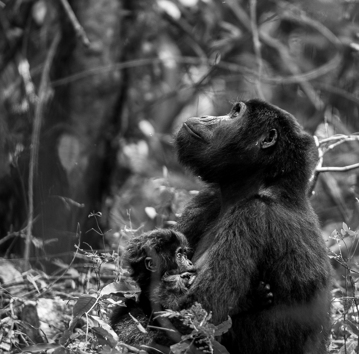 """A moment of thought"" – Bwindi Impenetrable National Park, Uganda © Dalida Innes"